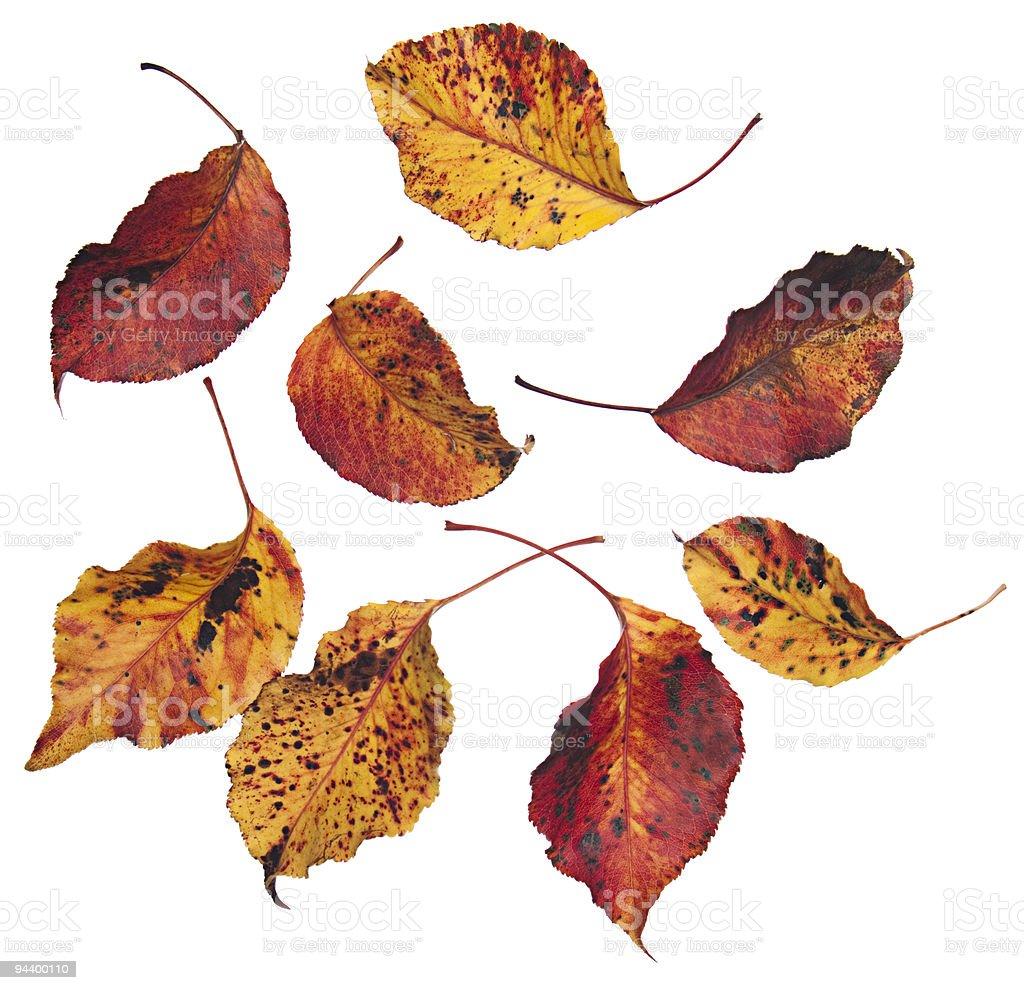 Autumn leaves falling on white background royalty-free stock photo
