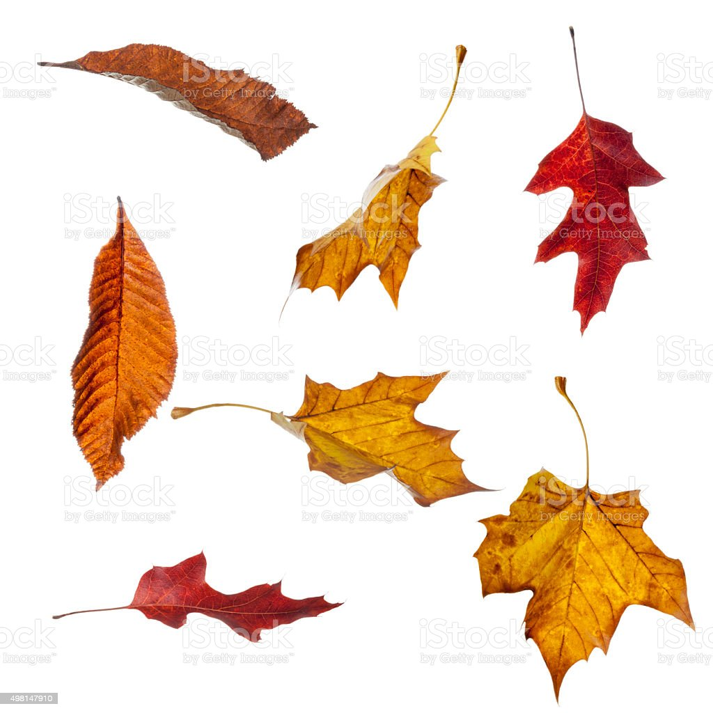 Autumn Leaves Falling Various autumn leaves in different falling positions isolated against a white background 2015 Stock Photo