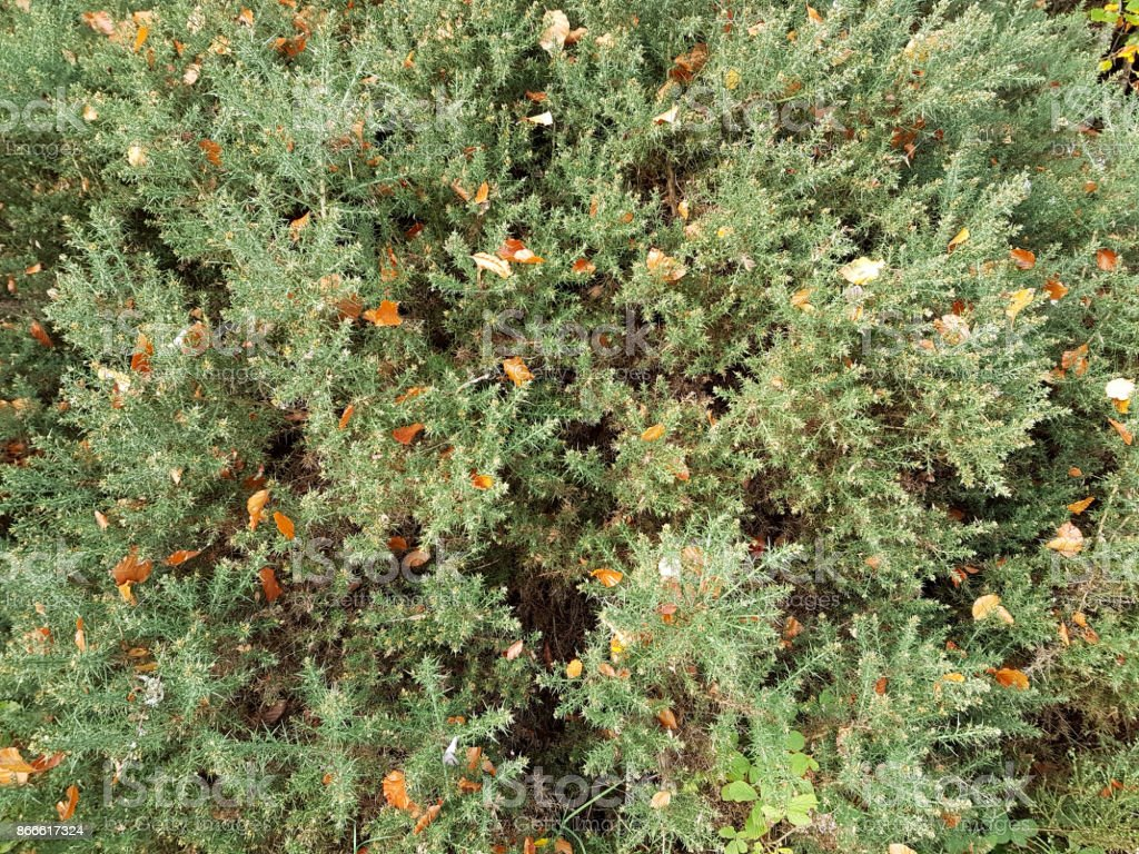 Autumn leaves in a whin or gorse bush stock photo