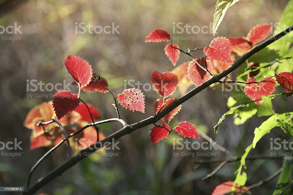 Autumn Leaves In Afternoon Sun royalty-free stock photo