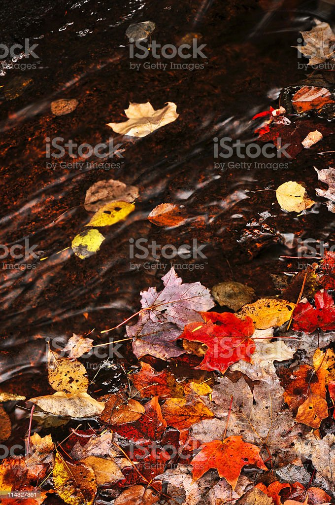Autumn leaves in creek royalty-free stock photo
