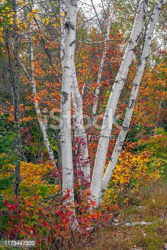 Autumn fall foliage in forest  white birch