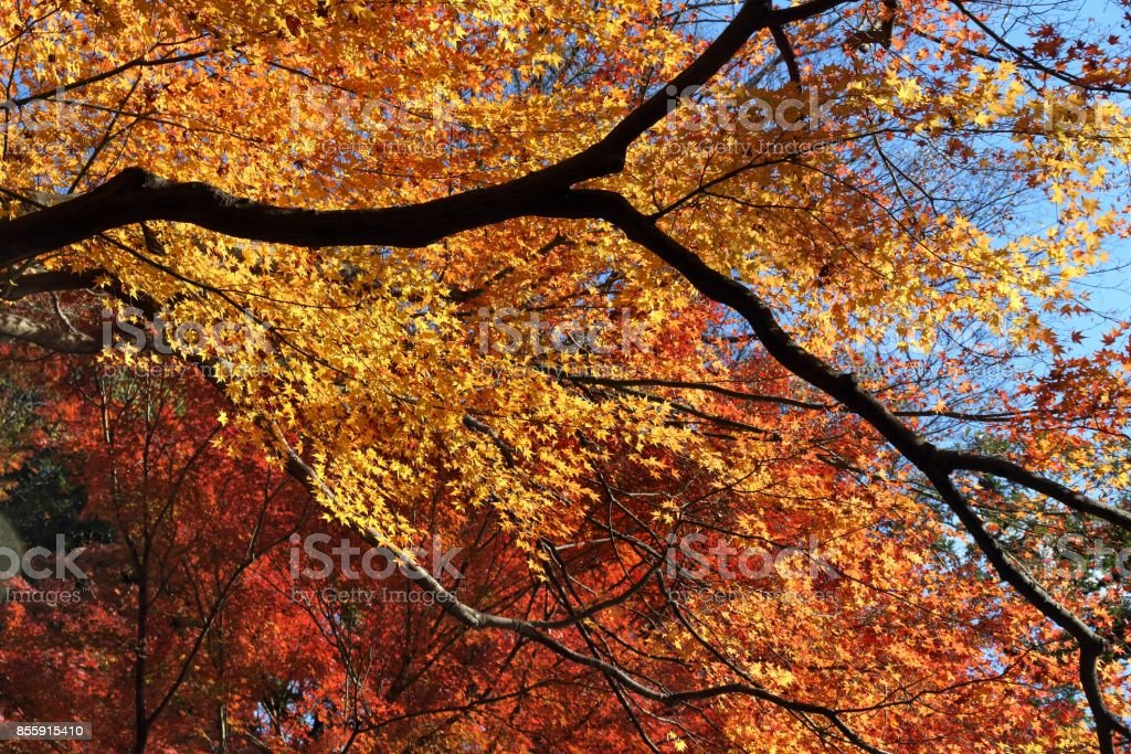 Autumn leaves in Japan stock photo