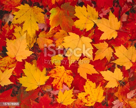 Multicolored Autumn Maple Leaves On The Forest Floor Of Vermont