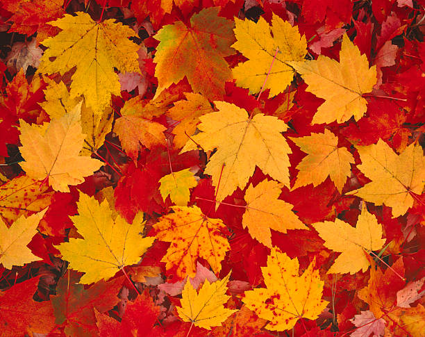 Autumn Leaves In Vermont stock photo