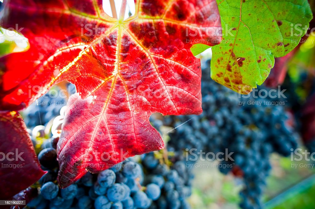 Autumn leaves in vineyard  with grapes background royalty-free stock photo