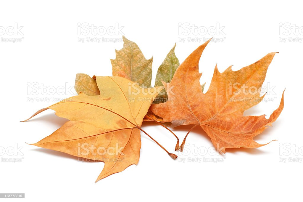 Autumn leaves isolated on white background royalty-free stock photo