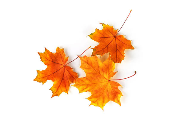 Autumn leaves isolated on white background. Top view Autumn leaves isolated on white background. Top view fall leaves stock pictures, royalty-free photos & images