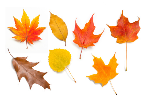 Large closeup image of bright colored leaves isolated on white background.