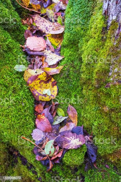 Photo of Autumn leaves lying in green moss in a crevice