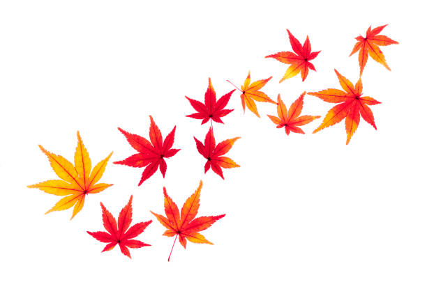 Autumn leaves  Maple Frame of autumn leaves Maple autumn leaf color stock pictures, royalty-free photos & images