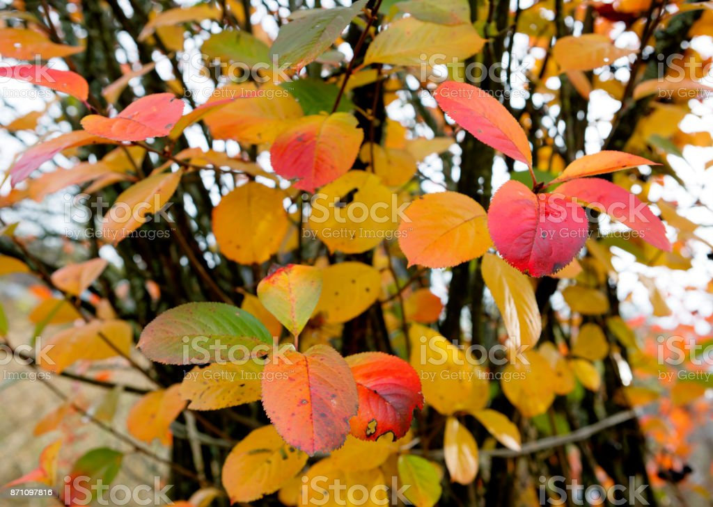 Autumn leaves of Black chokeberry. stock photo
