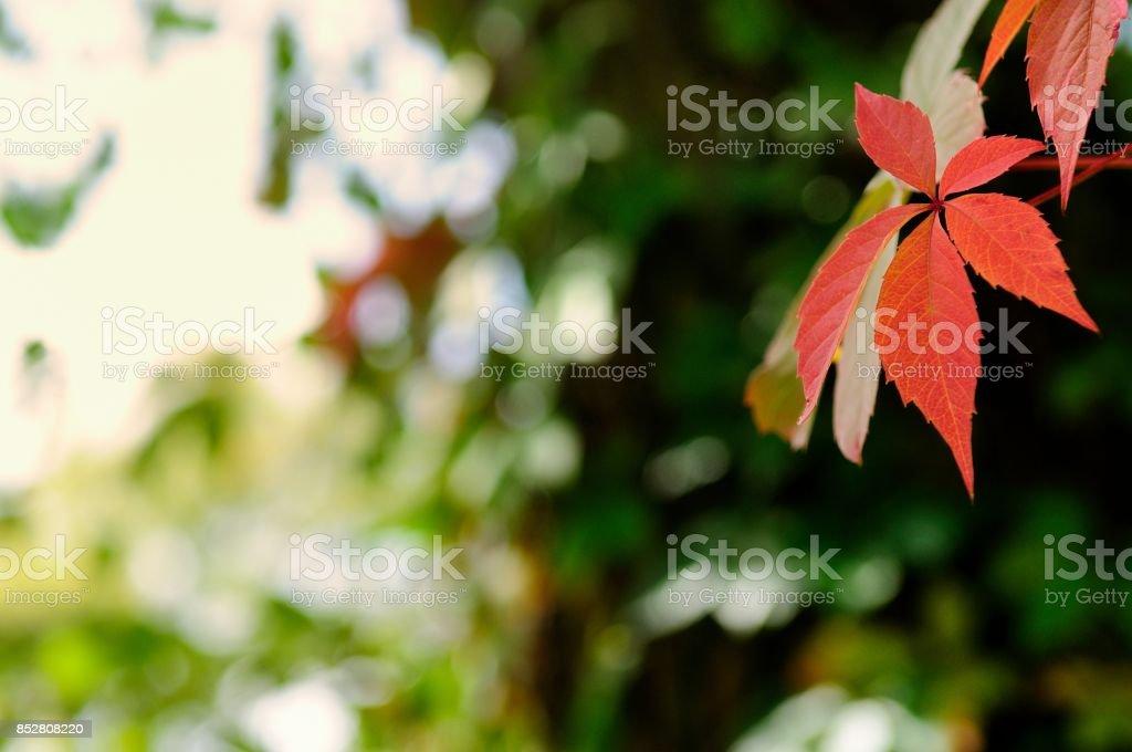 Autumn Leaves of Boston Ivy stock photo