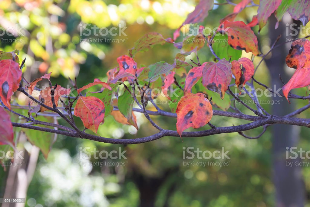 Autumn leaves of dogwood foto stock royalty-free