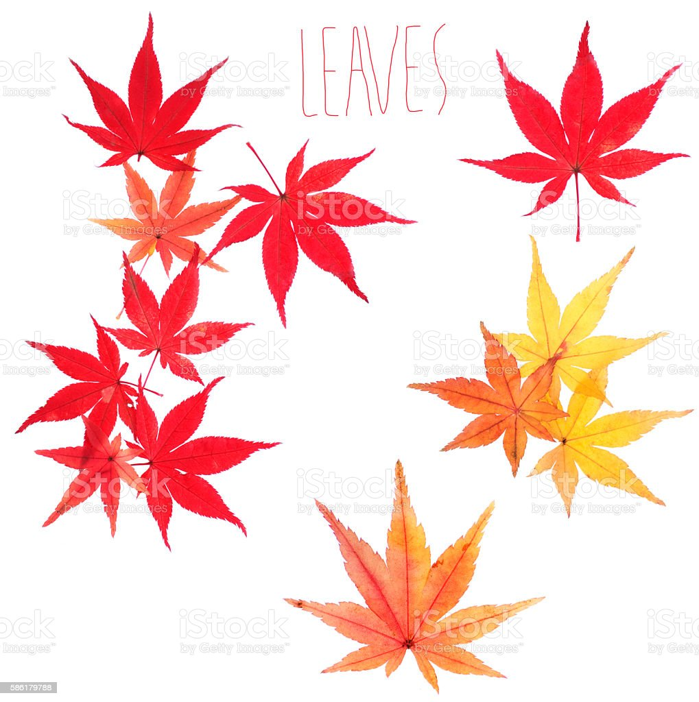 autumn leaves of japanese maple momiji stock photo