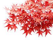 秋の葉のイロハモミジ