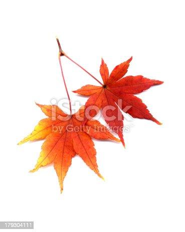 Japanese maple 'Iroha-momiji'AEAce palmatumAa.Autumn leaf.