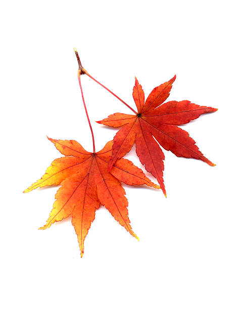 autumn leaves of japanese maple - maple leaf stock pictures, royalty-free photos & images