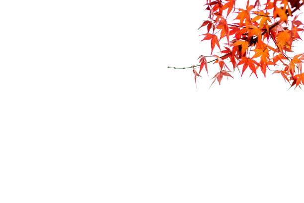 automne, feuilles d'érable du japon - feuillage automnal photos et images de collection