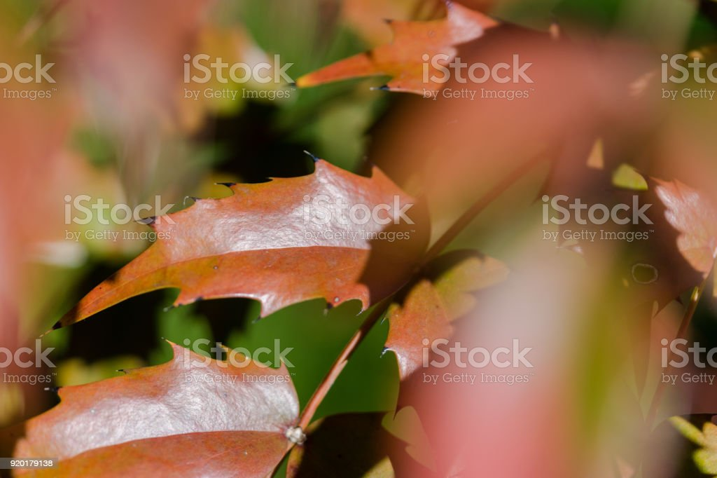 Autumn leaves of Mahonia japonica stock photo