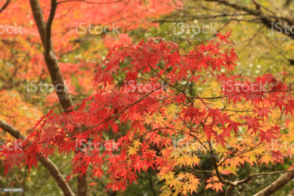 Autumn leaves of maple stock photo