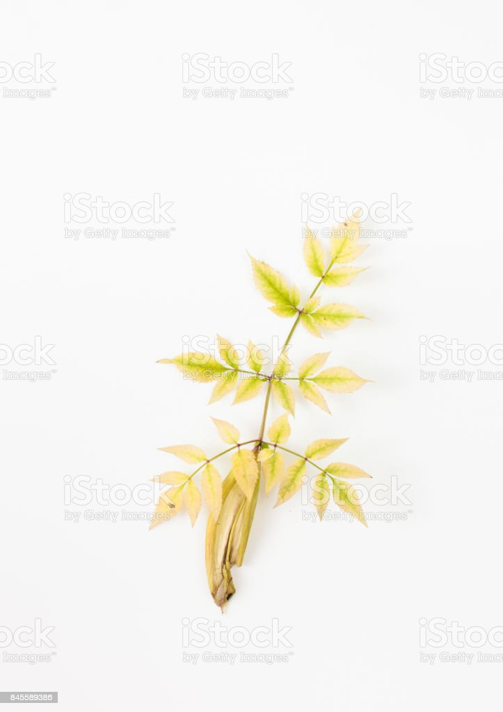 Autumn leaves of the ash tree on white background stock photo