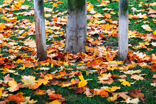 1038696838 istock photo autumn leaves of trees in the park 1262859932