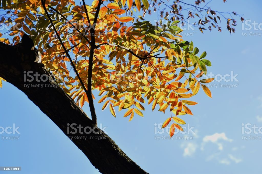 Autumn leaves of Wax tree stock photo