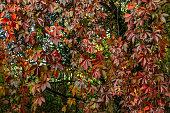 Autumn leaves of wild wine. Red, orange leaf colors. October in the sun. Europe, Poland, Mazovia, Sulejówek.