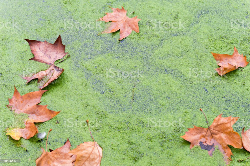 Autumn leaves on a lake royalty-free stock photo