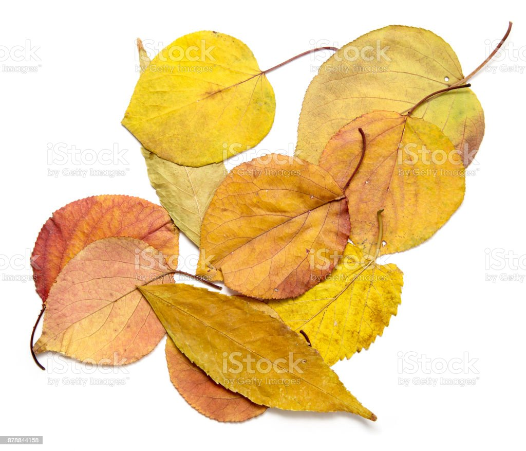 autumn leaves on a white background stock photo