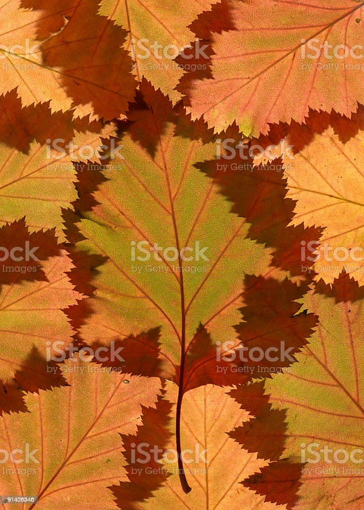 Autumn leaves on lightbox royalty-free stock photo