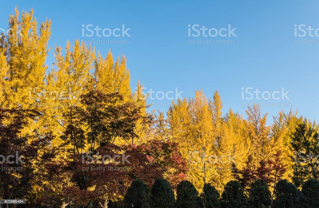 Autumn leaves on Nami Island in South Korea stock photo
