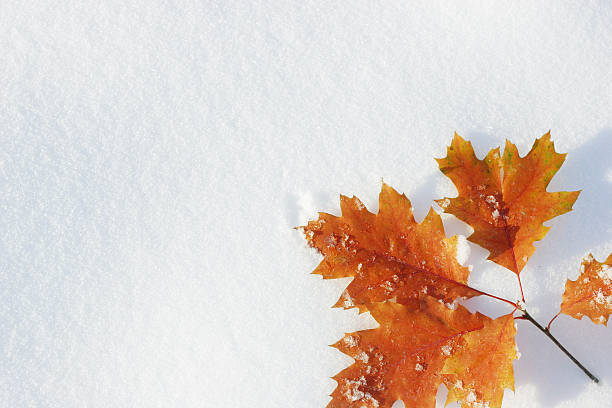 Autumn leaves on snow stock photo