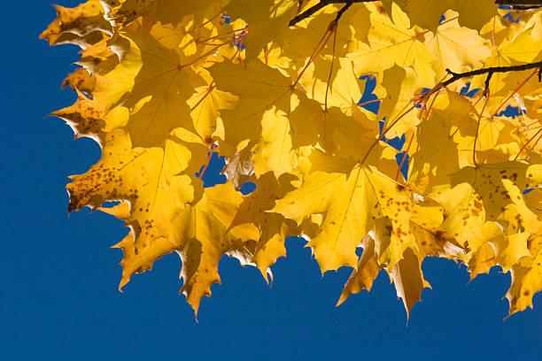 Autumn leaves on tree stock photo