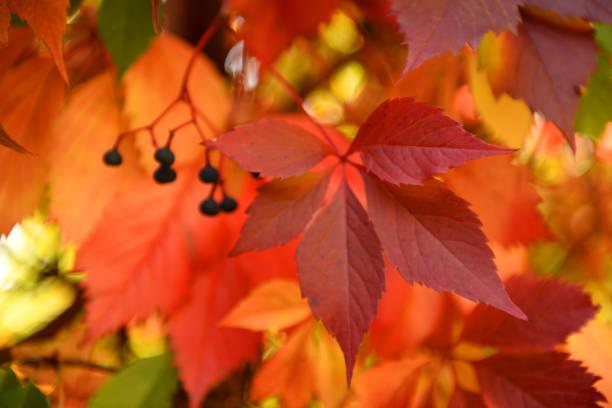 Feuilles d'automne. - Photo