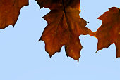 Isolated autumn leaves against a blue sky background