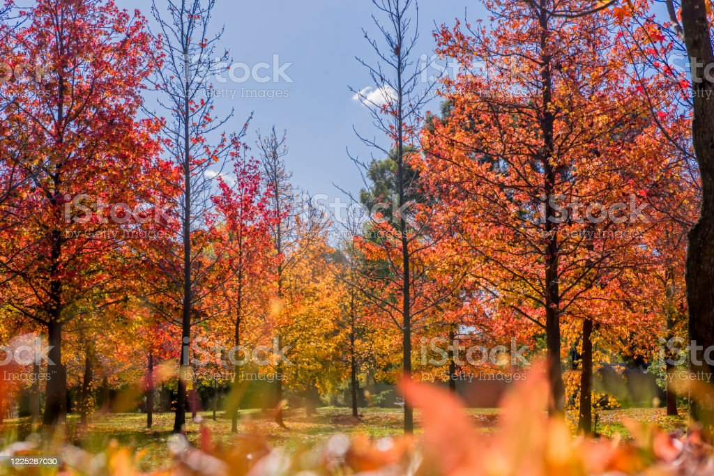 Autumn Leaves - Royalty-free Australia Stock Photo