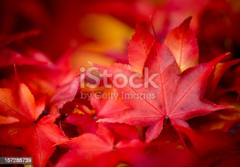 The beautiful colours of Autumn foliage.