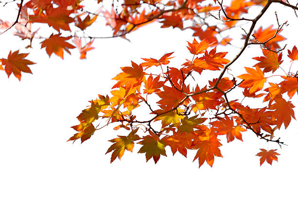 autumn leaves - maple leaf stock pictures, royalty-free photos & images