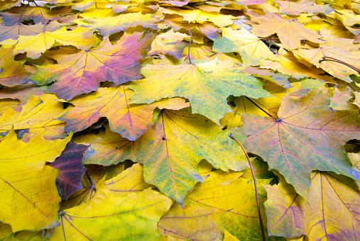 秋天的落葉 照片檔及更多 乾的 照片