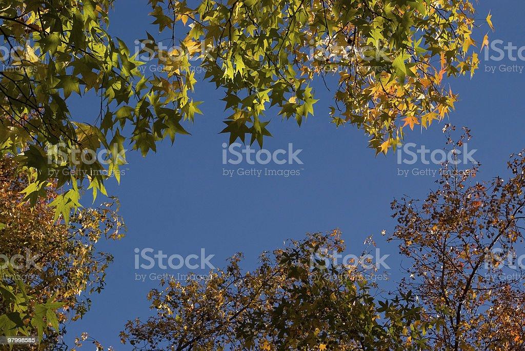 Autumn leaves (maple tree) royalty-free stock photo