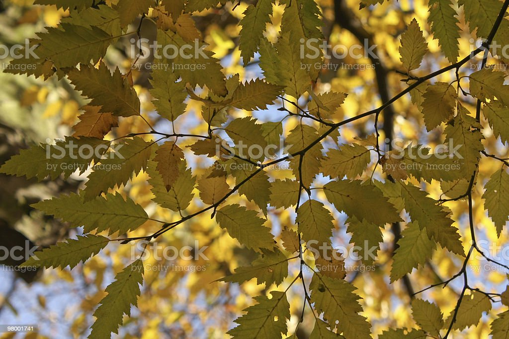 Autumn Leaves royalty free stockfoto
