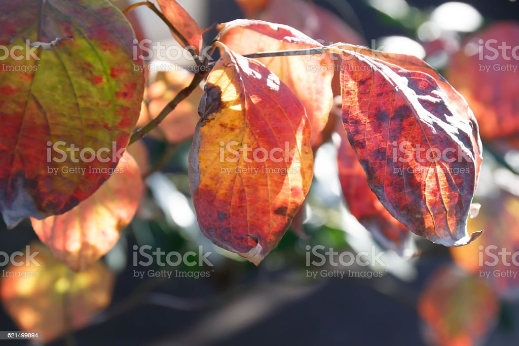 Autumn leaves red leaves foto stock royalty-free
