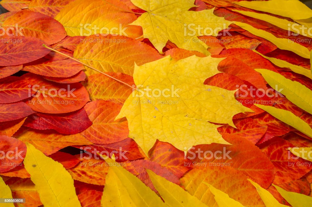 Autumn leaves red yellow, photographed in the studio. extraordinarily beautiful time to the golden autumn, It is a time of peace and tranquility. stock photo
