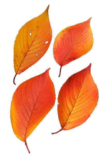 feuilles d'automne et avec un tracé de détourage - feuillage automnal photos et images de collection
