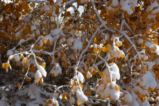 Autumn leaves with snow stock photo