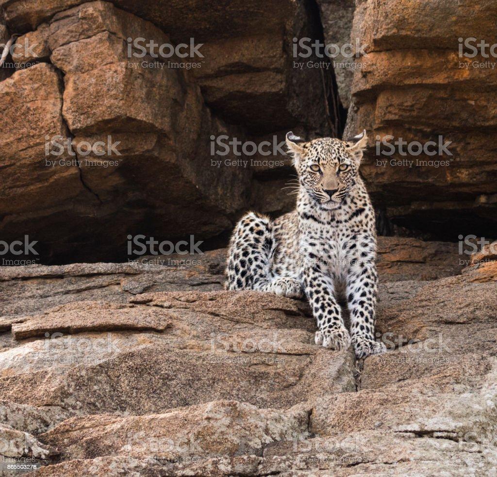 Autumn Leopard - Soft V. Hard stock photo