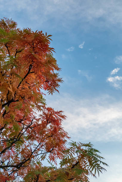 Autumn lit leaves and open bluesky stock photo