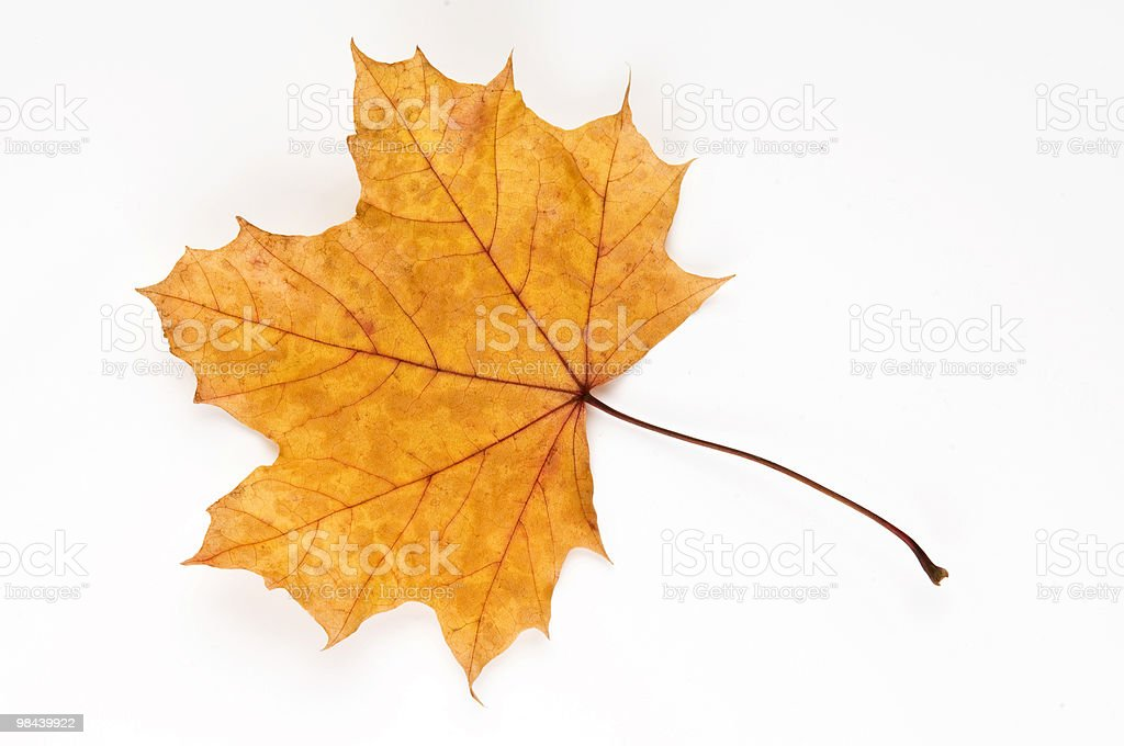 Autumn London Plane leaf royalty-free stock photo